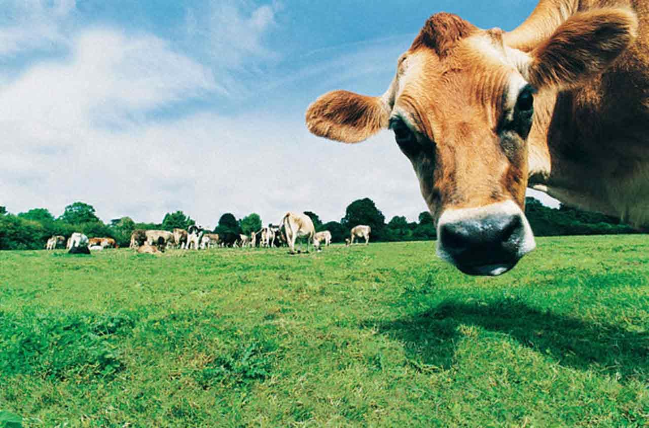 Arrivage viande de vache