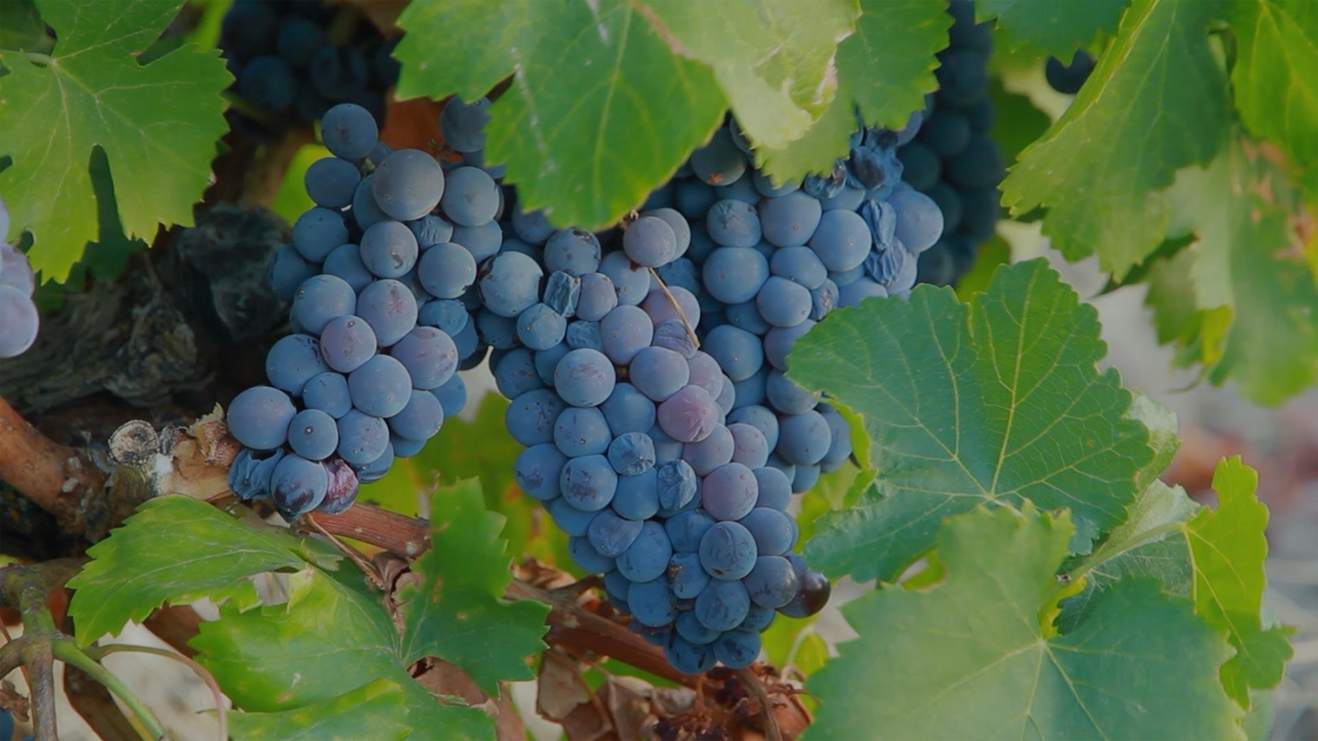 Producteurs-Locaux-Vignes
